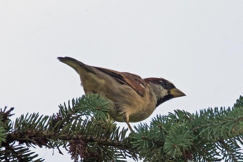 _DSC4017 House sparrow
