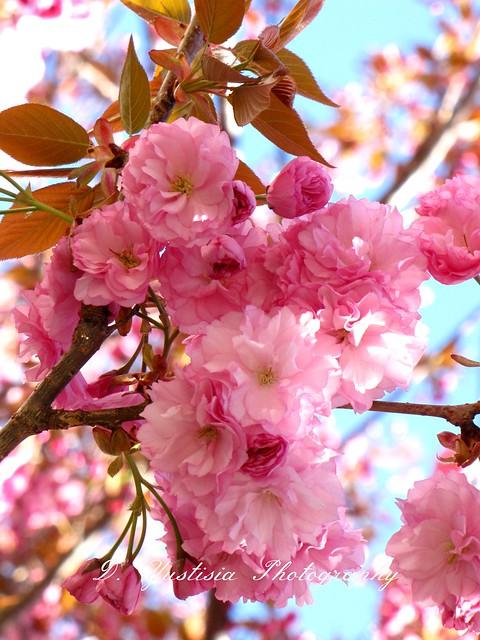 Kanzan Cherry Blossoms