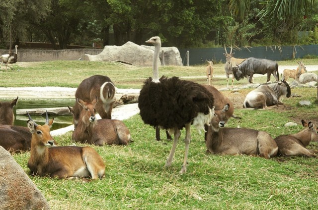 The ostrich and friends