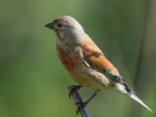 Male Linnet perched