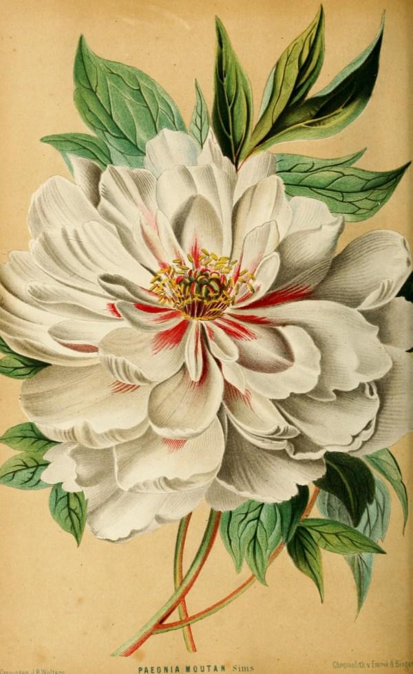 Centifolia Rose Vintage Botanical Prints Illustration