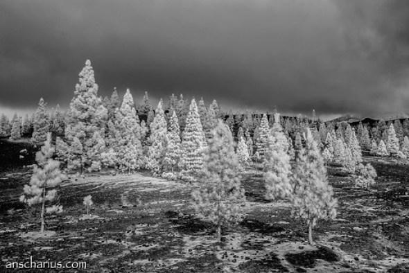 X-Mas Trees - Nikon 1 V1 - Infrared 700nm & 6,7-13mm