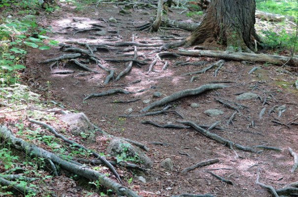Bald Mountain Trail Roots