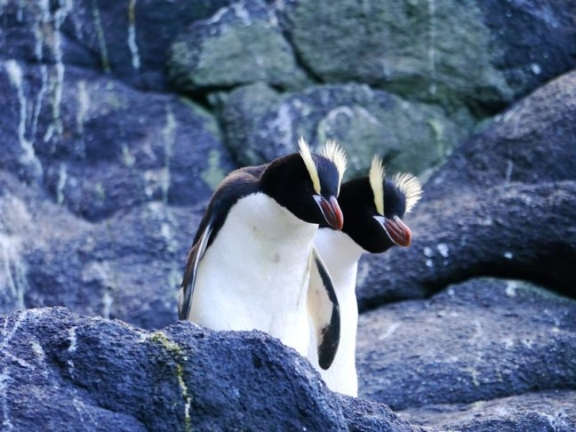 Erect Crested Penguin
