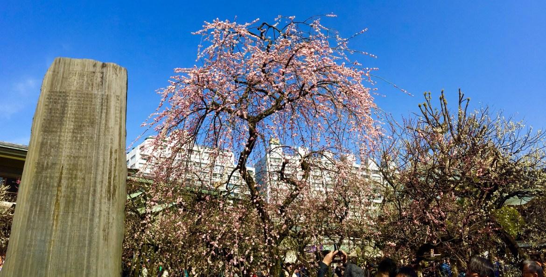 drooping sakura, shidare zakura at Yushima Tenjin