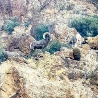 Saguaro lake and big horn sheep
