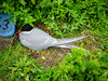 Tern on the nest (1)