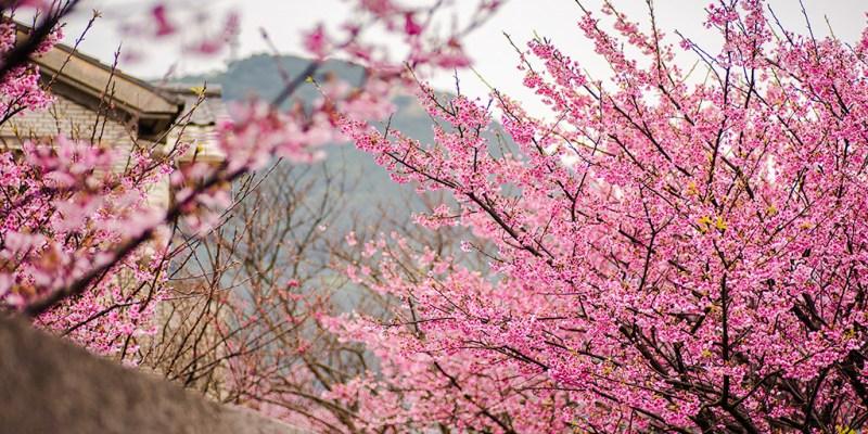 【台北】。陽明山上的櫻花正是追櫻時候 ! 蛙蛙也來追櫻[平菁街寒櫻]