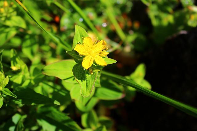 オトギリソウ(弟切草、葉の表面に褐色の油点が見られる)
