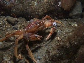 Harbour Crab/Sandy Swimming Crab