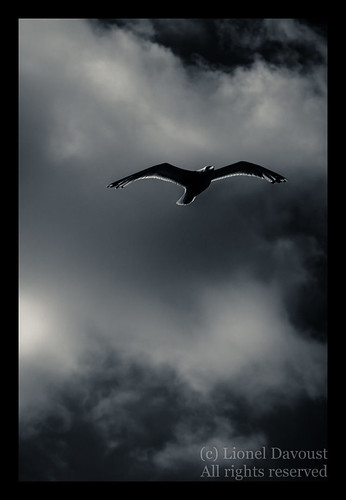 Phantom gull