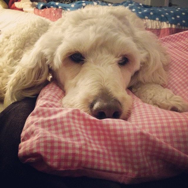 My fluffy blanket named Daisy...