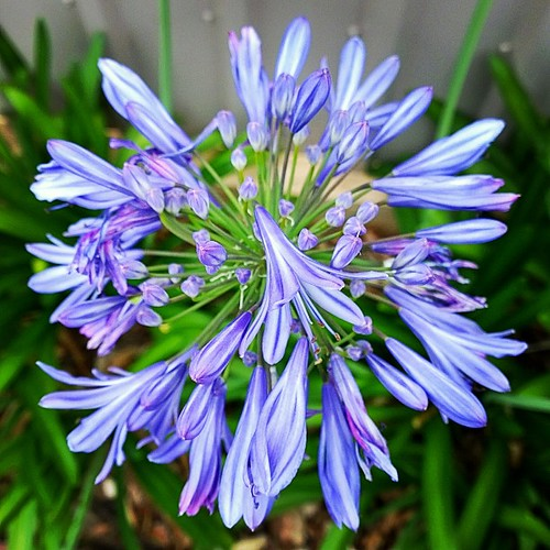 Finally. A flower from my Monday Morning walk that I can name. I do <3 agapanthus flowers. More on the walk later. Happy 1st of December! Wishing you all a lovely last month of 2014.