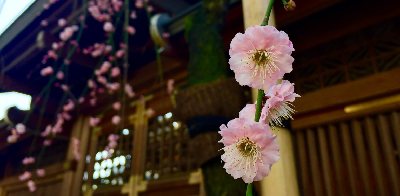 Ume at Yushima Tenjin