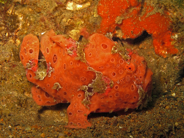 Painted Frogfish at Secret Bay, Anilao