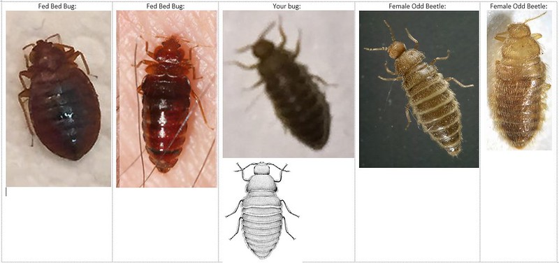 Carpet Mites Vs Bed Bugs