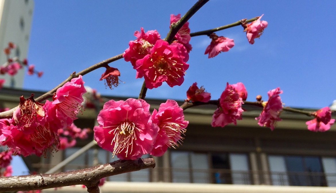 Pink blossoms at Yushima Tenjin