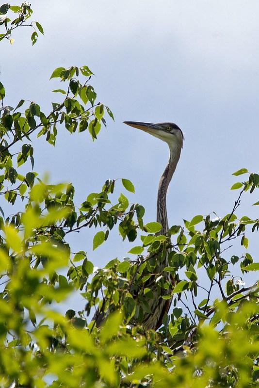 _DSC1797 Great Blue Heron