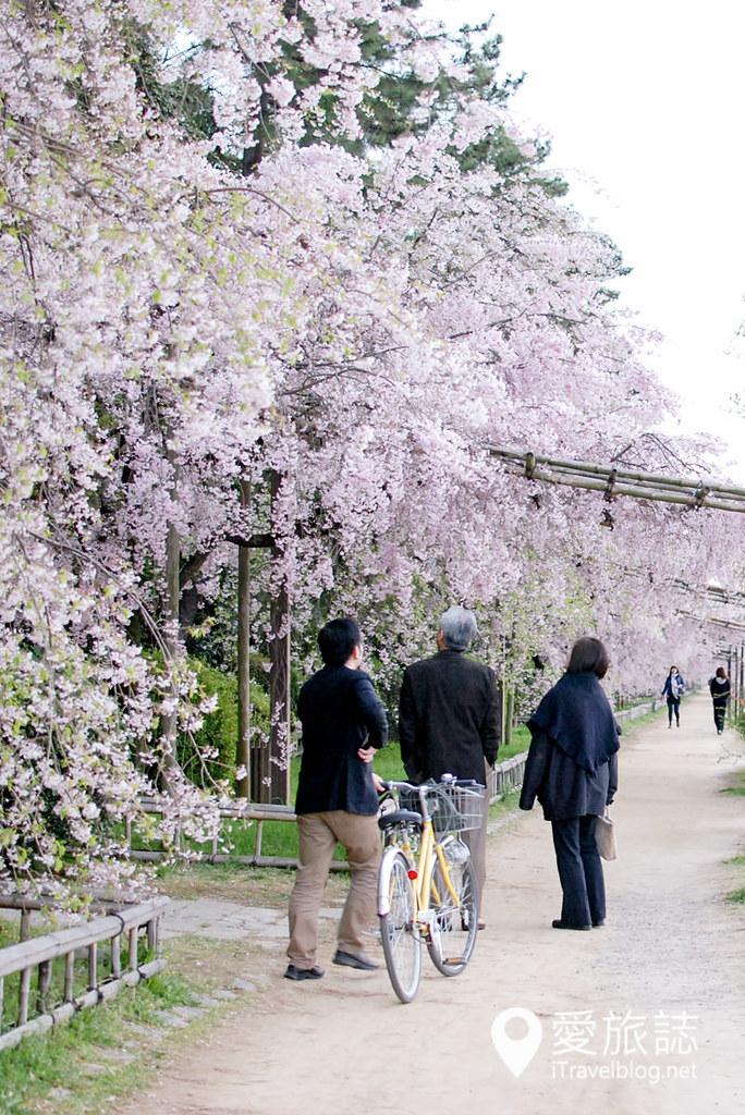 京都赏樱景点 半木之道 27