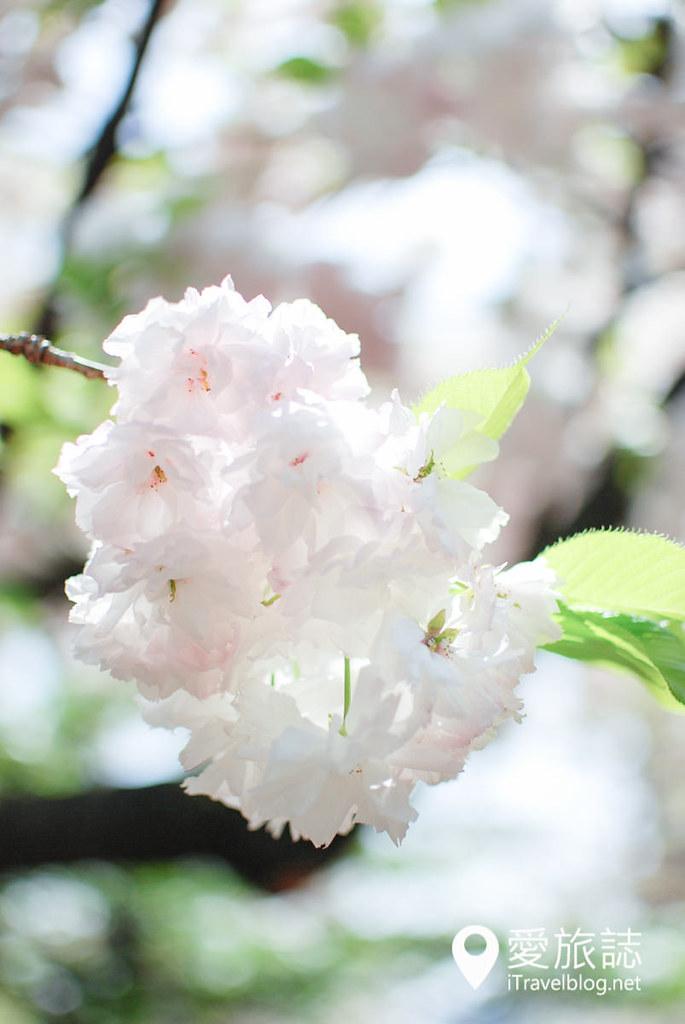 大阪造幣局 櫻花 51
