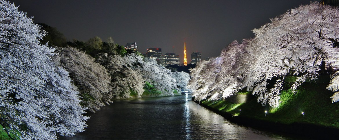 Chidorigafuchi Blossoms Tokyo Tower and white illumination