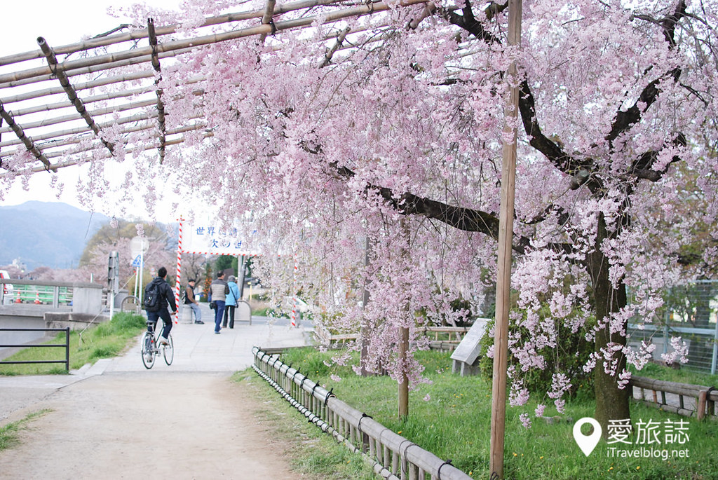 京都赏樱景点 半木之道 38