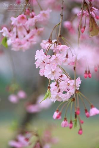 しだれ桜 20150403-IMG_9495