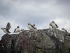 Puffins on the rocks (2)