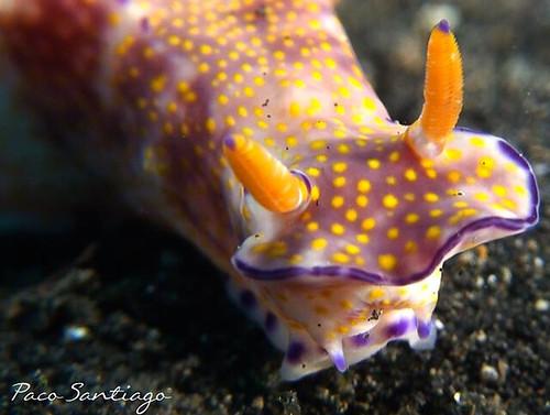 nudibranch, Lembeh Strait diving