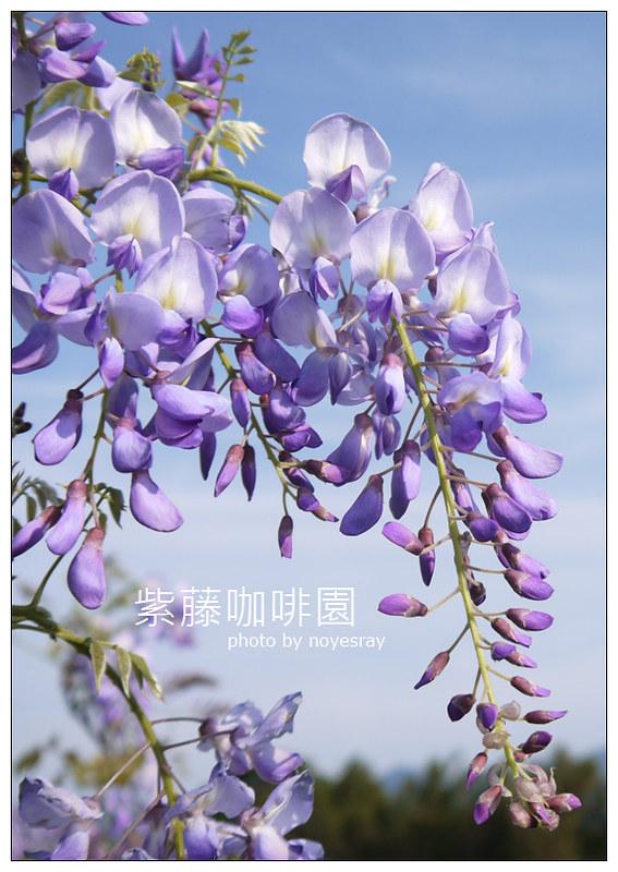 紫藤咖啡園 21
