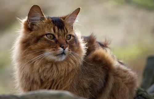 Somali Cat - Snarf
