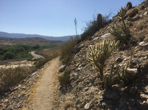 Cacti on the way up from Scissors Crossing
