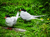 Two Arctic Terns