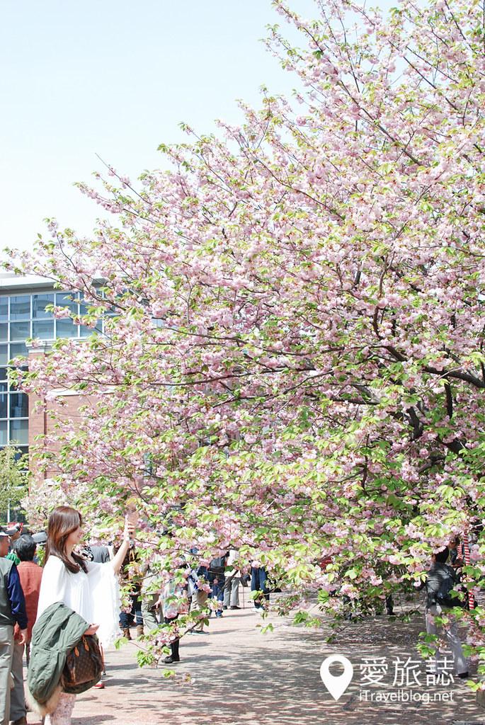 大阪造币局 樱花 53