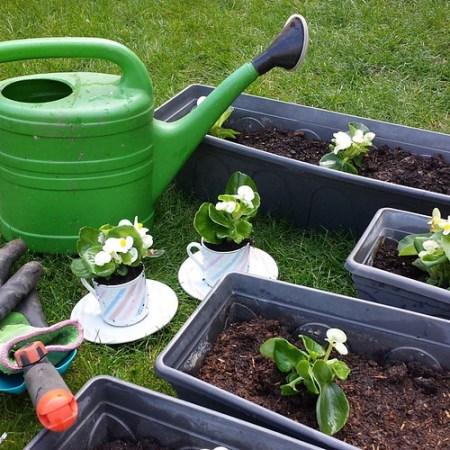 Eind april prepareren we de vensterbankplanten #begonia