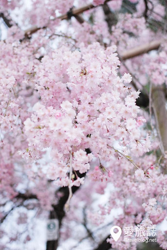 京都赏樱景点 半木之道 33