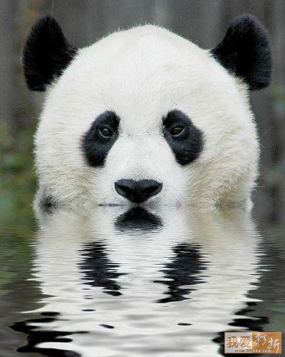 panda-swim