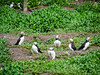 Group of puffins (1)