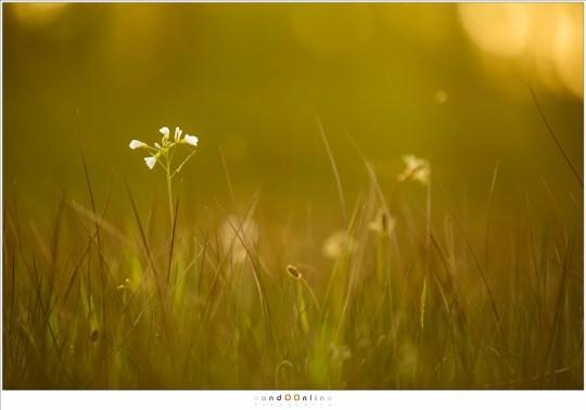 De pinksterbloem in het licht van de ondergaande zon, in een van de drassige weides in het dal van de Kleine Dommel
