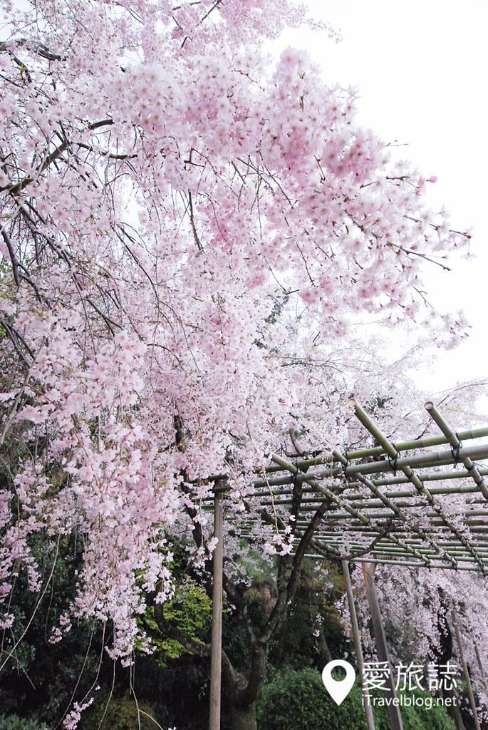 京都赏樱景点 半木之道 17