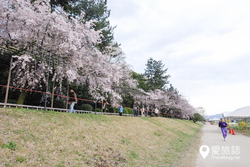 京都赏樱景点 半木之道 11