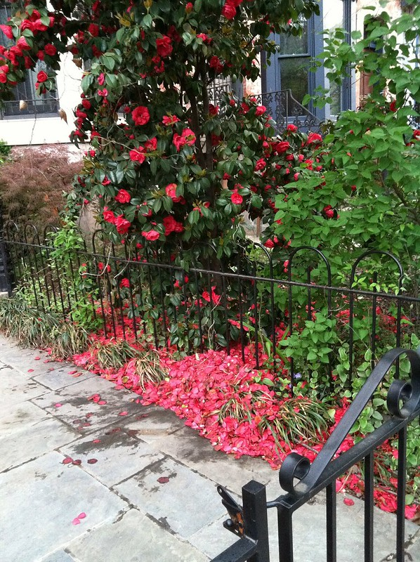 Fallen roses