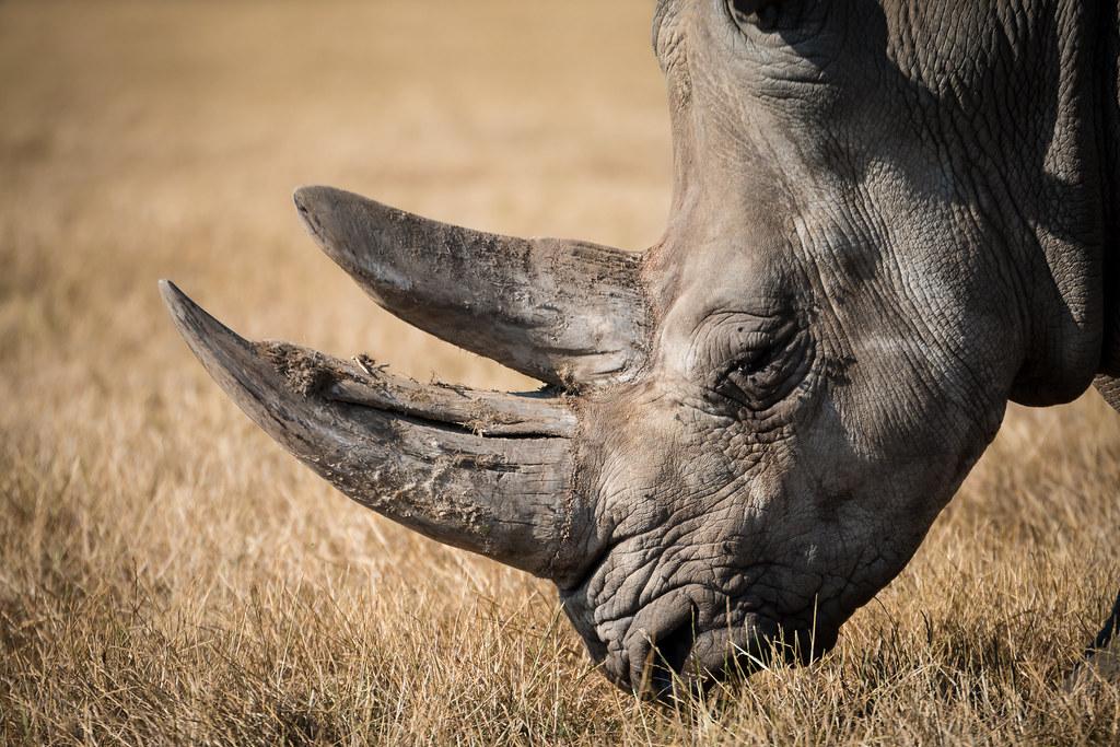 Imagen gratis de un rinoceronte