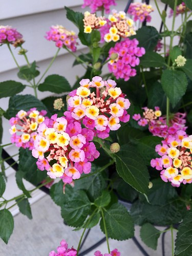 New porch plant {Lantana}