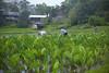 Waiahole Farm Loi