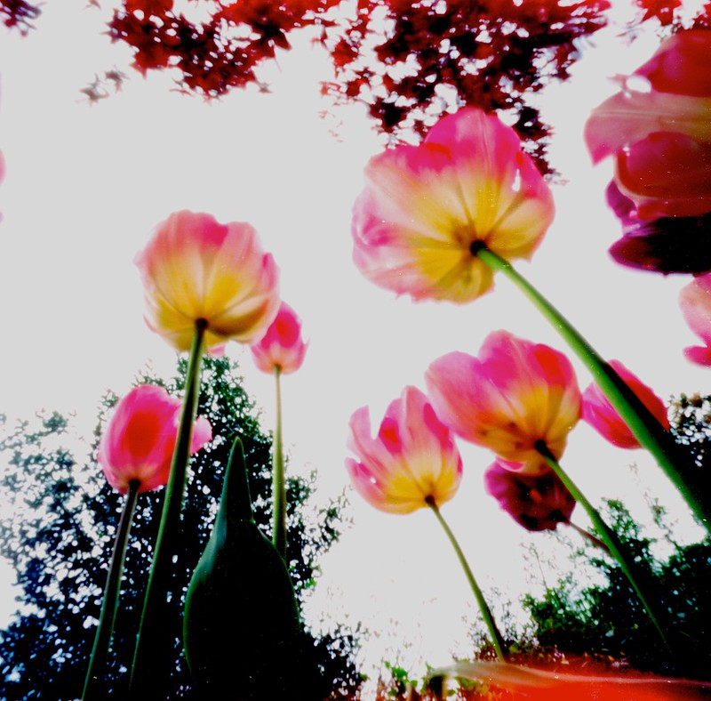 Day 107 _  tulips