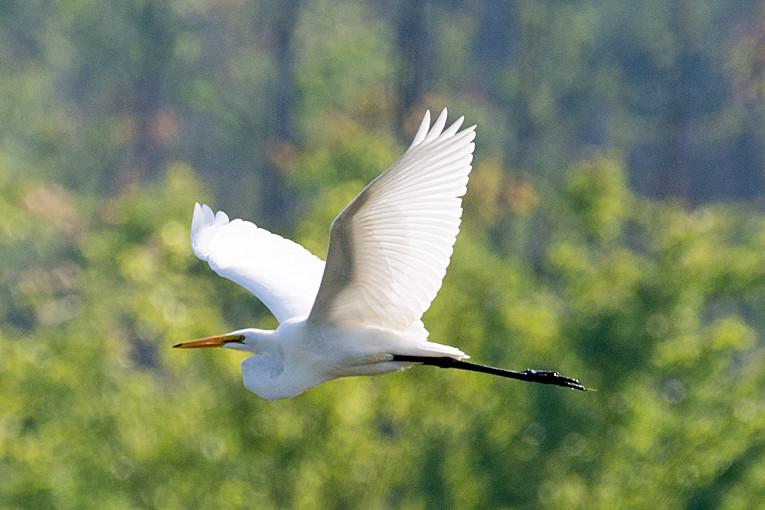_DSC2194 Great Egret