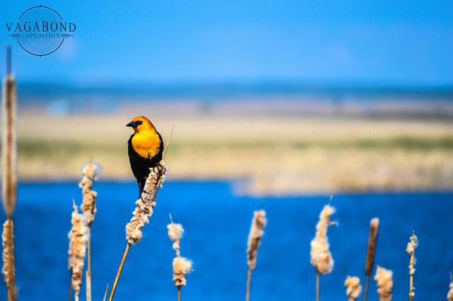 1024 - ve - yellow breast bird DSC_3731