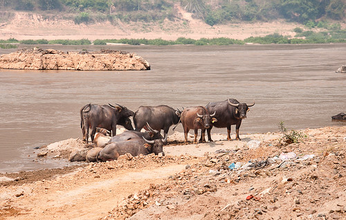 Water Buffalo at the River Mekong.