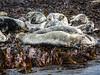 Basking seals (3)